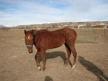 starving stud at Sullivan residence on day of seizure by New Mexico Livestock Board