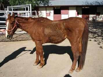Miracle 24 Quarterhorse very thin