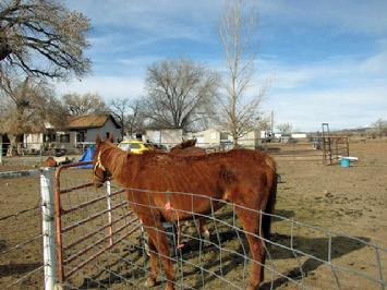 starving horse on the day seized by the New Mexico Livestock Board